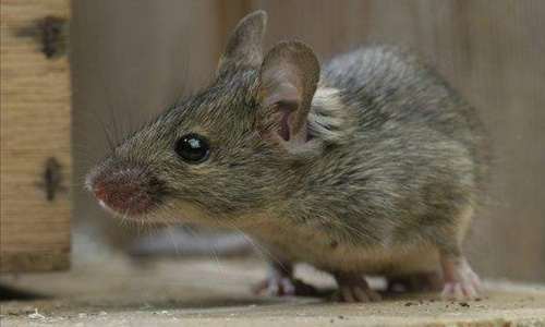 发现商场有老鼠怎么办?就找开封方群专业消杀灭老鼠
