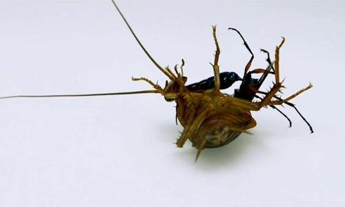 学校食堂蟑螂该怎么消灭?开封杀虫公司怎么做