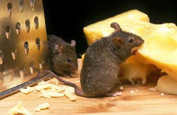 春节期间老鼠容易多,怎么办?方群有害生物防治为您支招