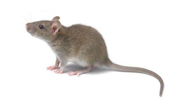 开封鼠类消杀防治
